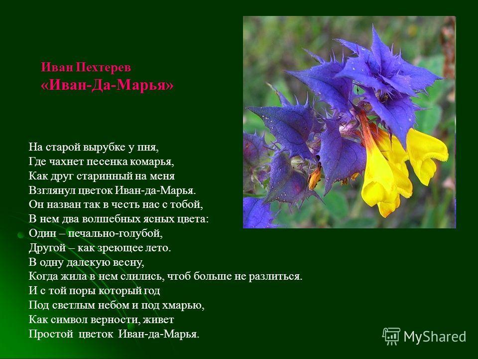 На старой вырубке у пня, Где чахнет песенка комарья, Как друг старинный на меня Взглянул цветок Иван-да-Марья. Он назван так в честь нас с тобой, В нем два волшебных ясных цвета: Один – печально-голубой, Другой – как зреющее лето. В одну далекую весн