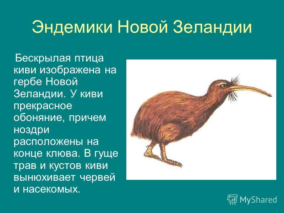 Эндемики Новой Зеландии Бескрылая птица киви изображена на гербе Новой Зеландии. У киви прекрасное обоняние, причем ноздри расположены на конце клюва. В гуще трав и кустов киви вынюхивает червей и насекомых.
