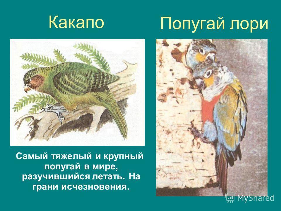 Попугай лори Самый тяжелый и крупный попугай в мире, разучившийся летать. На грани исчезновения. Какапо