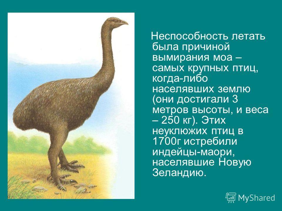 Неспособность летать была причиной вымирания моа – самых крупных птиц, когда-либо населявших землю (они достигали 3 метров высоты, и веса – 250 кг). Этих неуклюжих птиц в 1700г истребили индейцы-маори, населявшие Новую Зеландию.