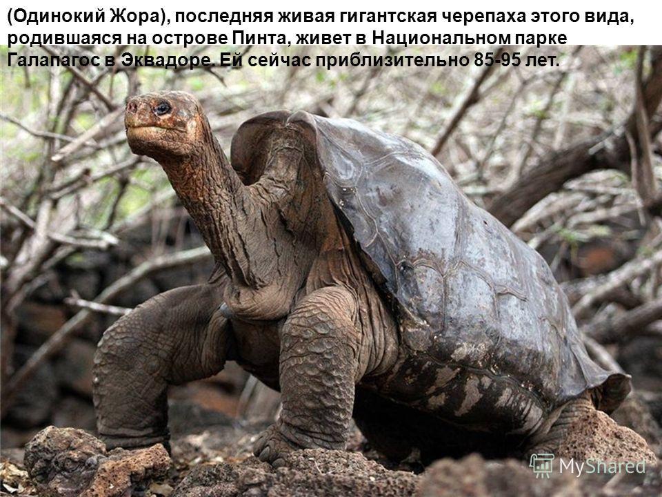 (Одинокий Жора), последняя живая гигантская черепаха этого вида, родившаяся на острове Пинта, живет в Национальном парке Галапагос в Эквадоре. Ей сейчас приблизительно 85-95 лет.