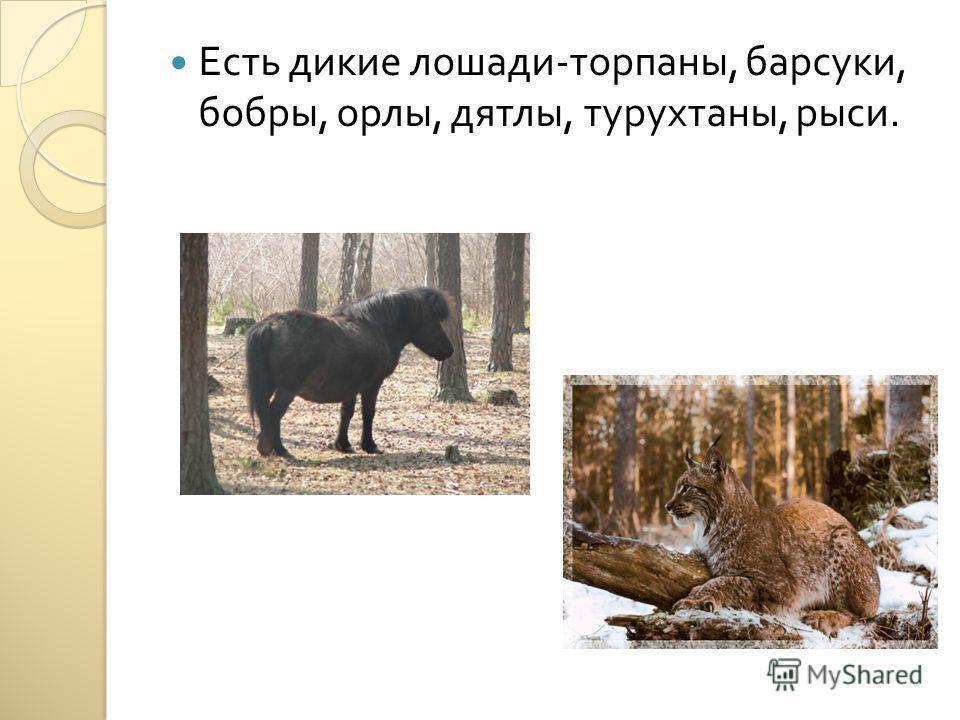 Есть дикие лошади - торпаны, барсуки, бобры, орлы, дятлы, турухтаны, рыси.