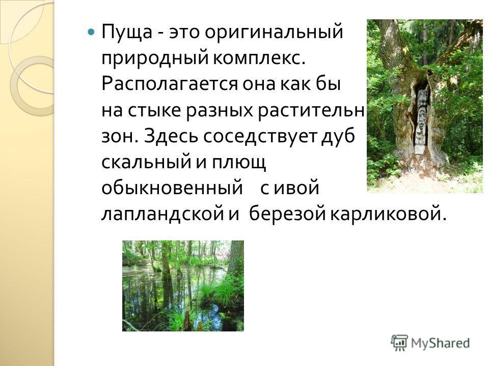 Пуща - это оригинальный природный комплекс. Располагается она как бы на стыке разных растительных зон. Здесь соседствует дуб скальный и плющ обыкновенный с ивой лапландской и березой карликовой.