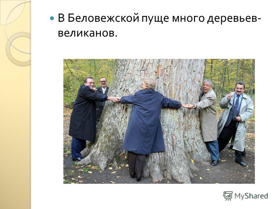 В Беловежской пуще много деревьев - великанов.