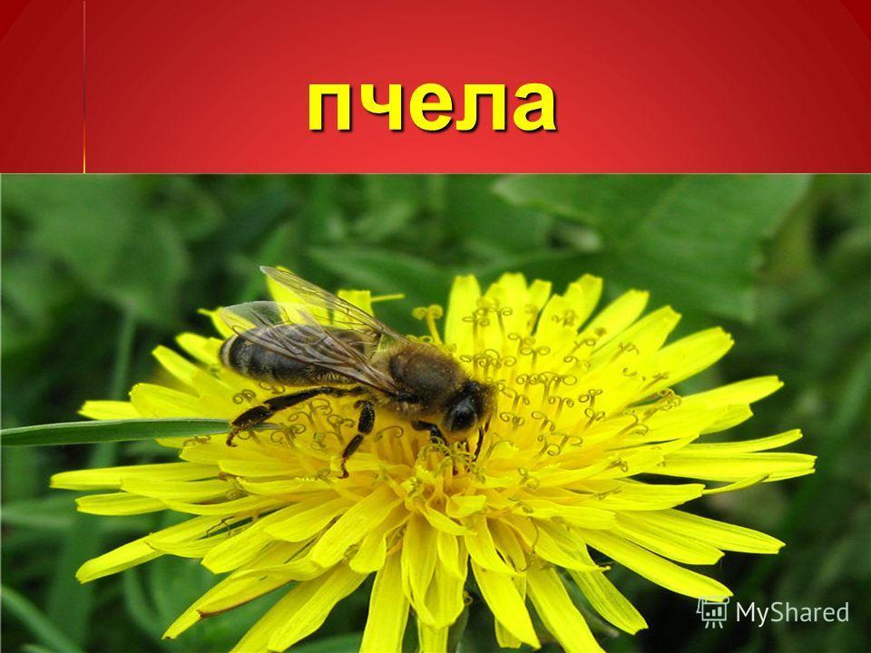 пчела пчела