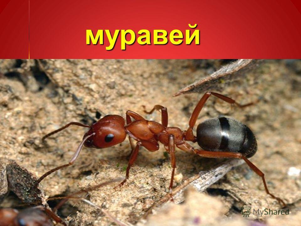 муравей муравей