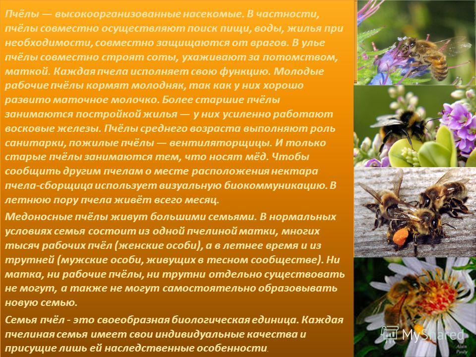 Пчёлы высокоорганизованные насекомые. В частности, пчёлы совместно осуществляют поиск пищи, воды, жилья при необходимости, совместно защищаются от врагов. В улье пчёлы совместно строят соты, ухаживают за потомством, маткой. Каждая пчела исполняет сво