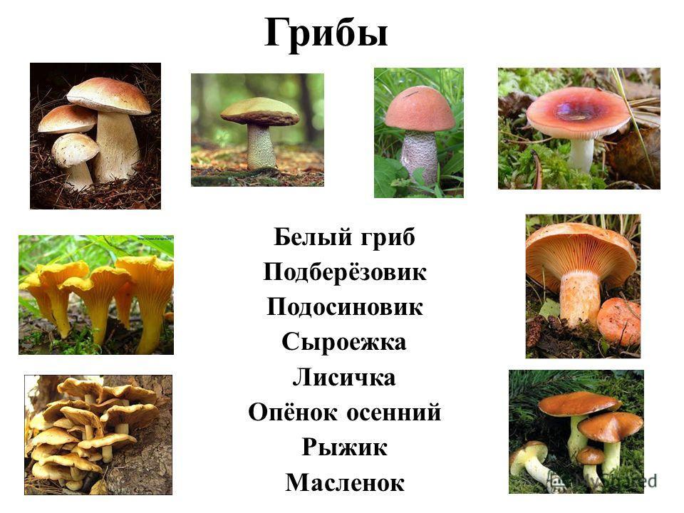 Грибы Белый гриб Подберёзовик Подосиновик Сыроежка Лисичка Опёнок осенний Рыжик Масленок