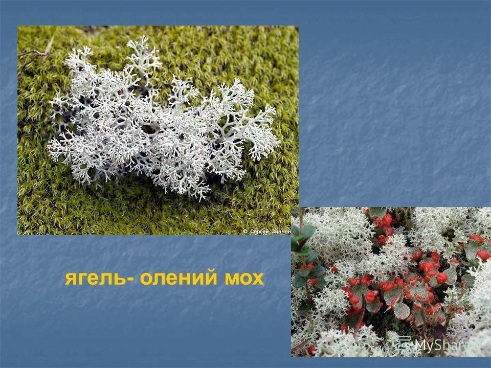 ягель- олений мох Ягель- олений мох.