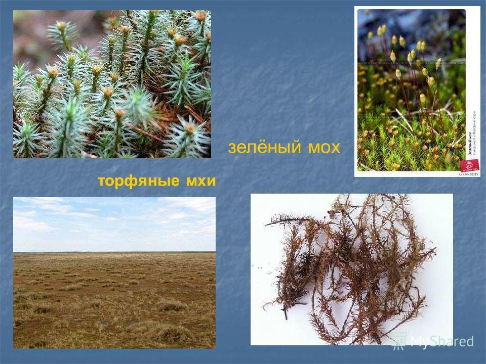 зелёный мох торфяные мхи Зелёный мох. Торфяные мхи.