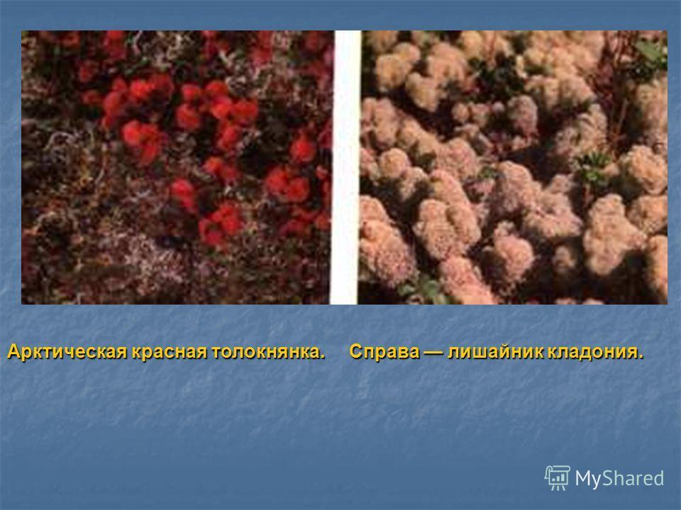 Арктическая красная толокнянка. Справа лишайник кладония.