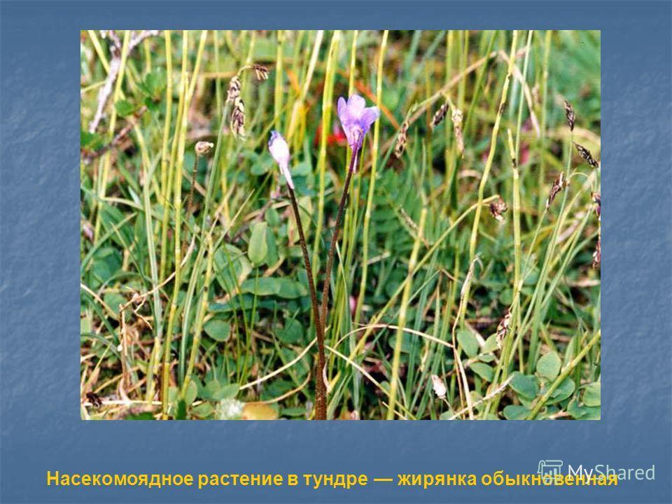 Насекомоядное растение в тундре жирянка обыкновенная Насекомоядное растение в тундре жирянка обыкновенная.