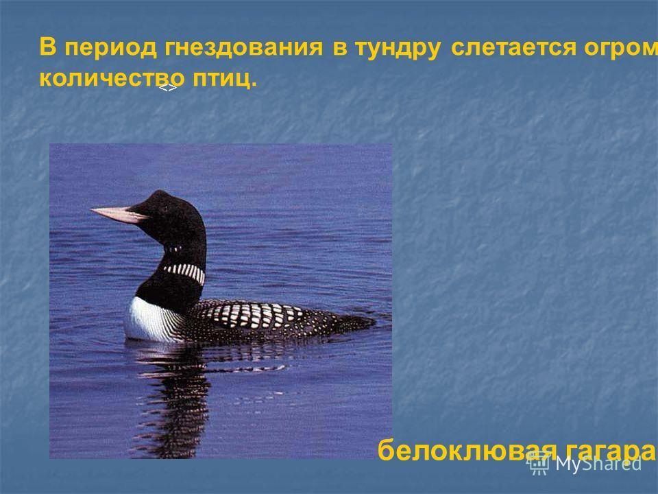 В период гнездования в тундру слетается огромное количество птиц.  белоклювая гагара В период гнездования в тундру слетается огромное количество птиц. . Белоклювая гагара.
