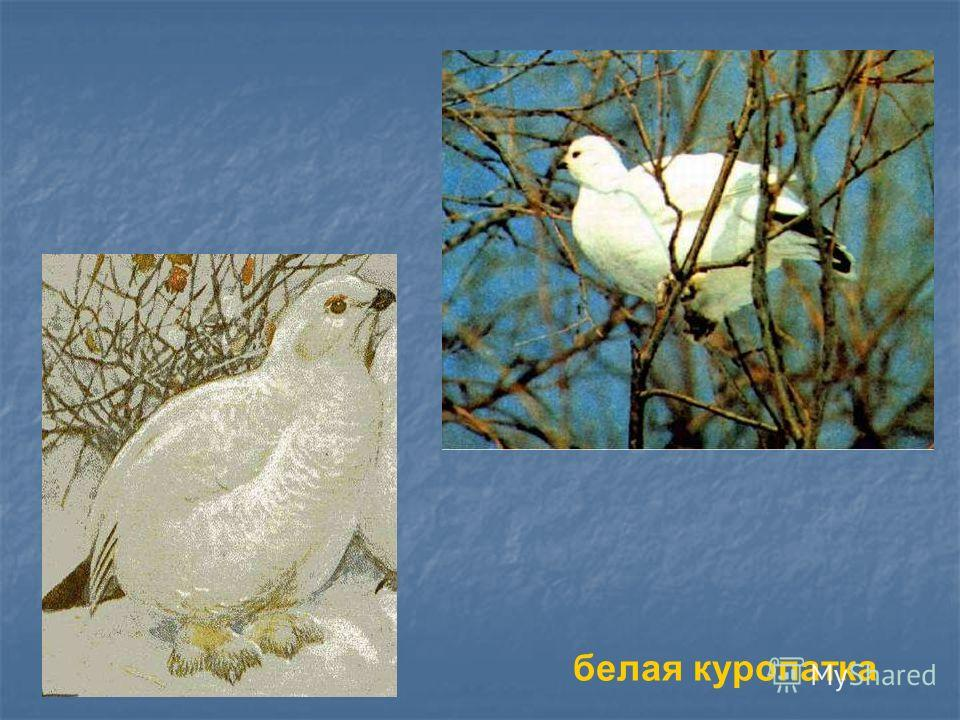 белая куропатка Белая куропатка.