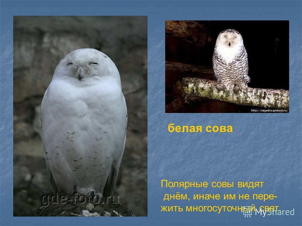 белая сова Полярные совы видят днём, иначе им не пере- жить многосуточный свет. Белая сова. Полярные совы видят днём, иначе им не пере- жить многосуточный свет.