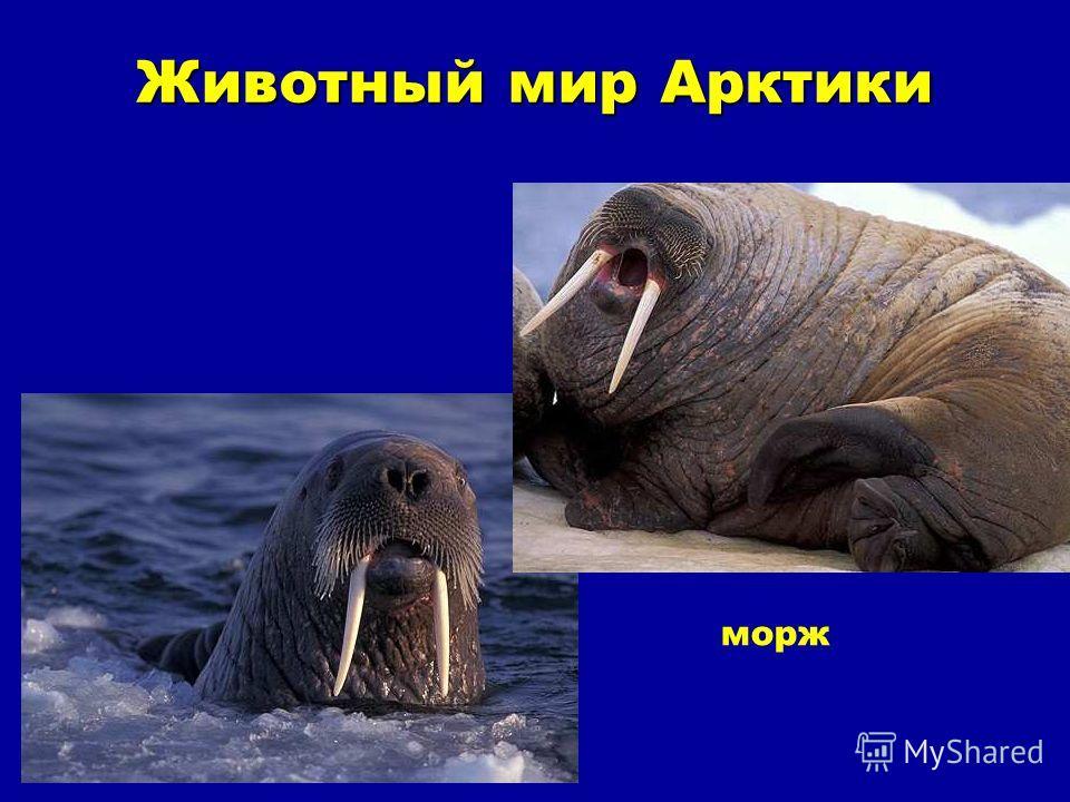 Животный мир Арктики Животный мир Арктики морж