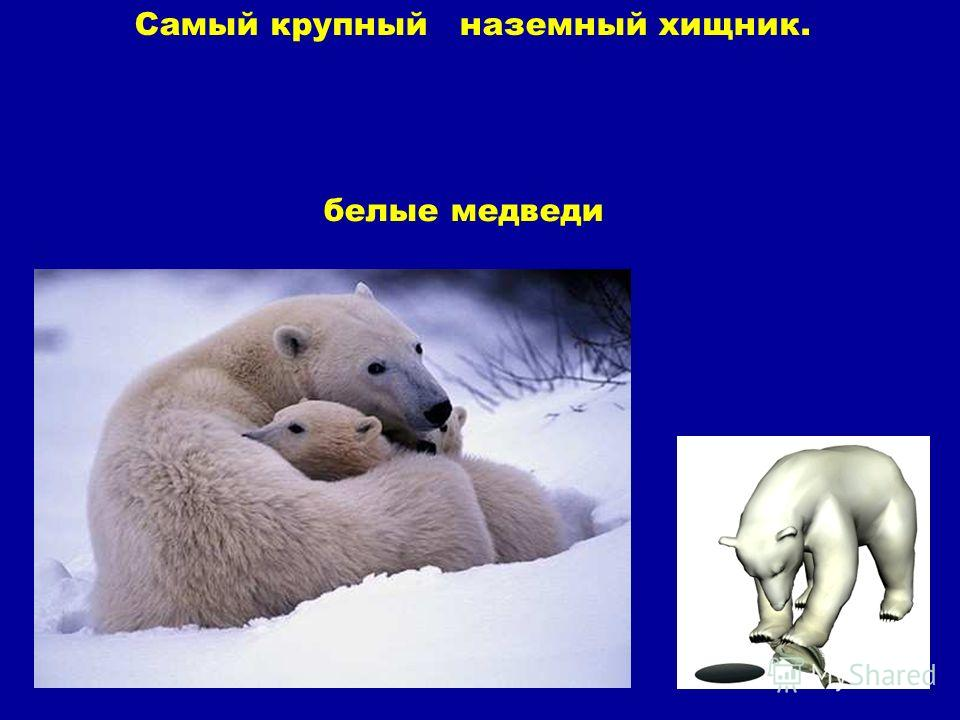 белые медведи Самый крупный наземный хищник. Белые медведи. Самый крупный наземный хищник.