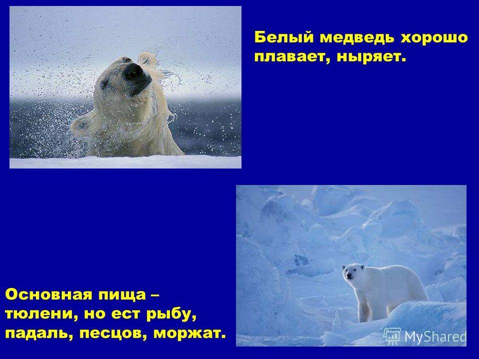 Основная пища – тюлени, но ест рыбу, падаль, песцов, моржат. Белый медведь хорошо плавает, ныряет. Основная пища – тюлени, но ест рыбу, падаль, песцов, моржат. Белый медведь хорошо плавает, ныряет.