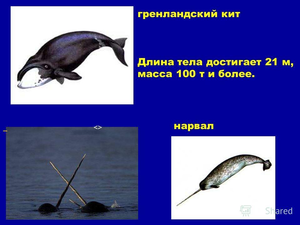 гренландский кит Длина тела достигает 21 м, масса 100 т и более.  нарвал Гренландский кит длина тела достигает 21 м, масса 100 т и более. . Нарвал.