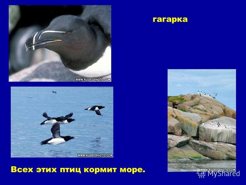 гагарка Всех этих птиц кормит море. Гагарка. Всех этих птиц кормит море.