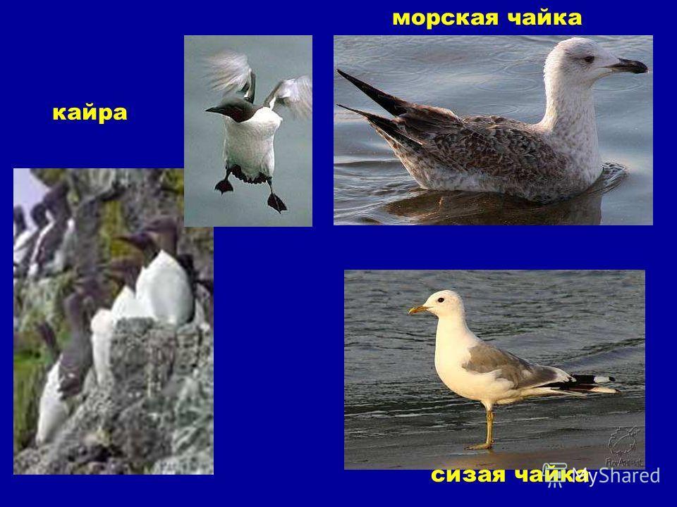 кайра морская чайка сизая чайка Кайра. Морская чайка. Сизая чайка.