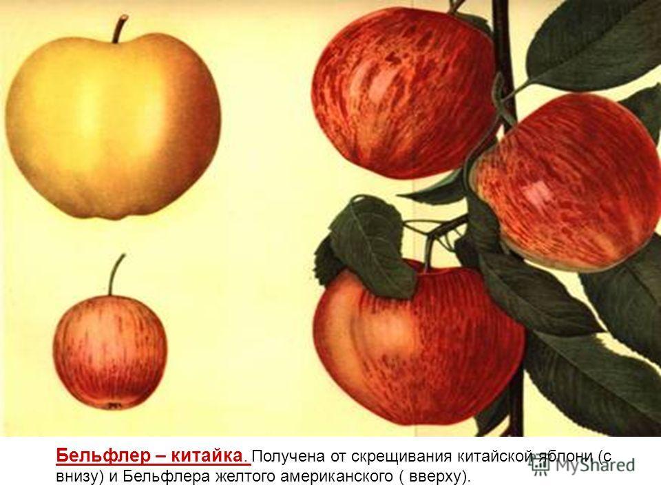 Бельфлер – китайка. Получена от скрещивания китайской яблони (с внизу) и Бельфлера желтого американского ( вверху).
