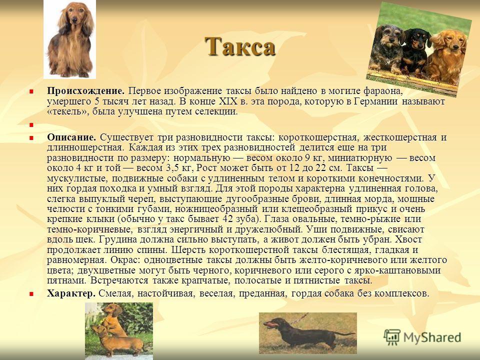 Такса Происхождение. Первое изображение таксы было найдено в могиле фараона, умершего 5 тысяч лет назад. В конце XIX в. эта порода, которую в Германии называют «текель», была улучшена путем селекции. Происхождение. Первое изображение таксы было найде