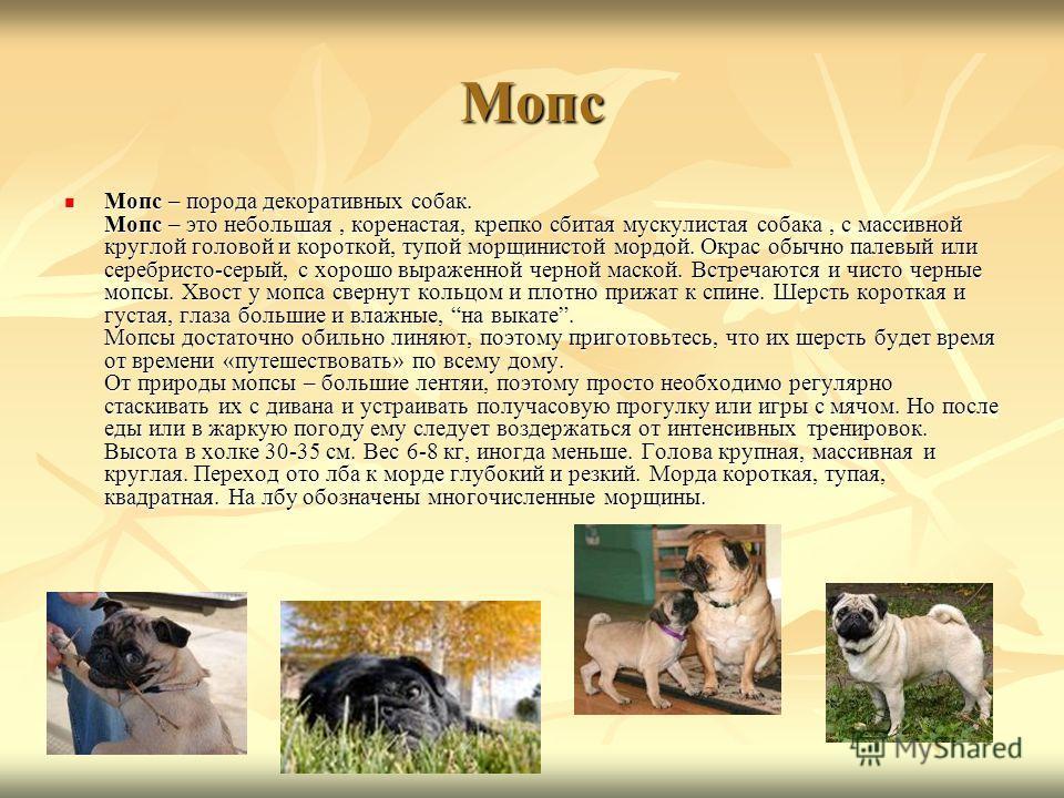 Мопс Мопс – порода декоративных собак. Мопс – это небольшая, коренастая, крепко сбитая мускулистая собака, с массивной круглой головой и короткой, тупой морщинистой мордой. Окрас обычно палевый или серебристо-серый, с хорошо выраженной черной маской.