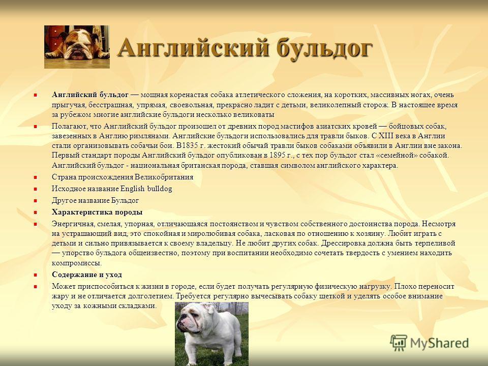 Английский бульдог Английский бульдог мощная коренастая собака атлетического сложения, на коротких, массивных ногах, очень прыгучая, бесстрашная, упрямая, своевольная, прекрасно ладит с детьми, великолепный сторож. В настоящее время за рубежом многие