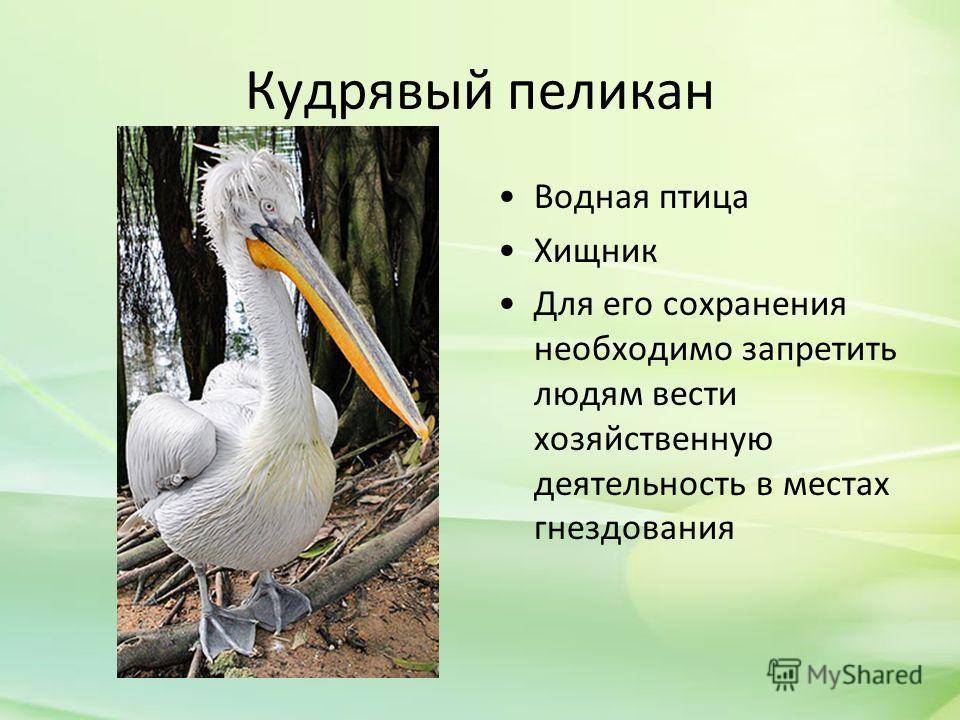 Кудрявый пеликан Водная птица Хищник Для его сохранения необходимо запретить людям вести хозяйственную деятельность в местах гнездования