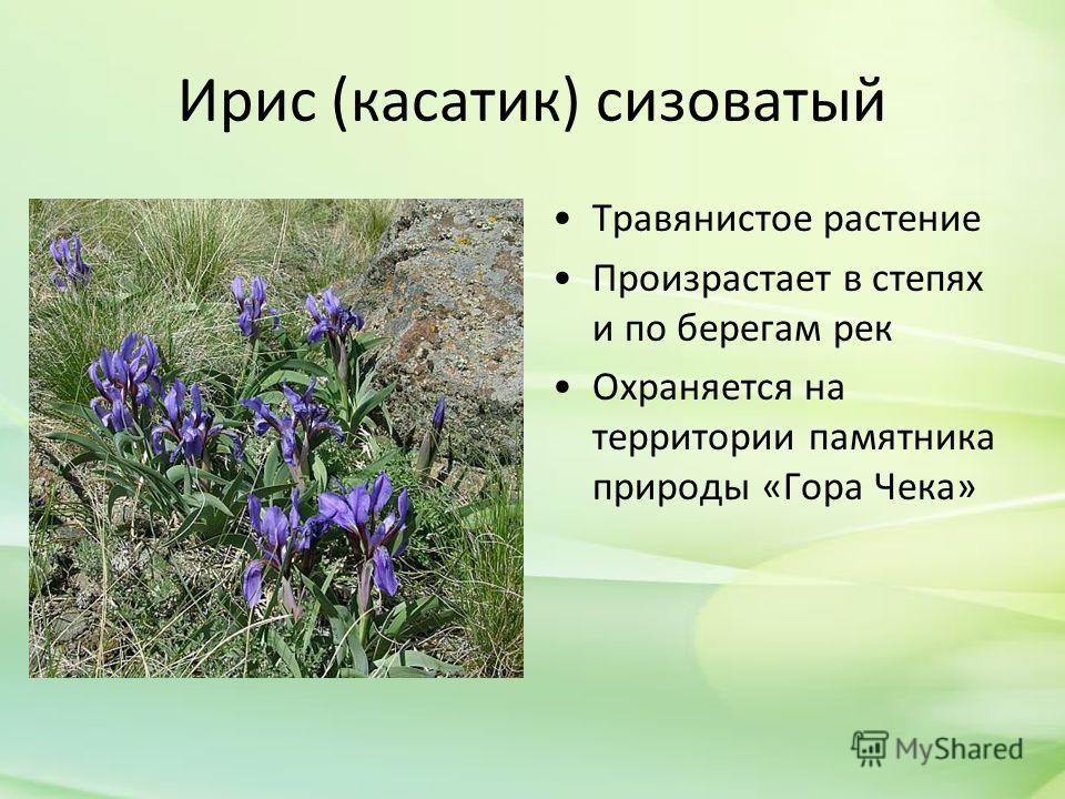 Ирис (касатик) сизоватый Травянистое растение Произрастает в степях и по берегам рек Охраняется на территории памятника природы «Гора Чека»