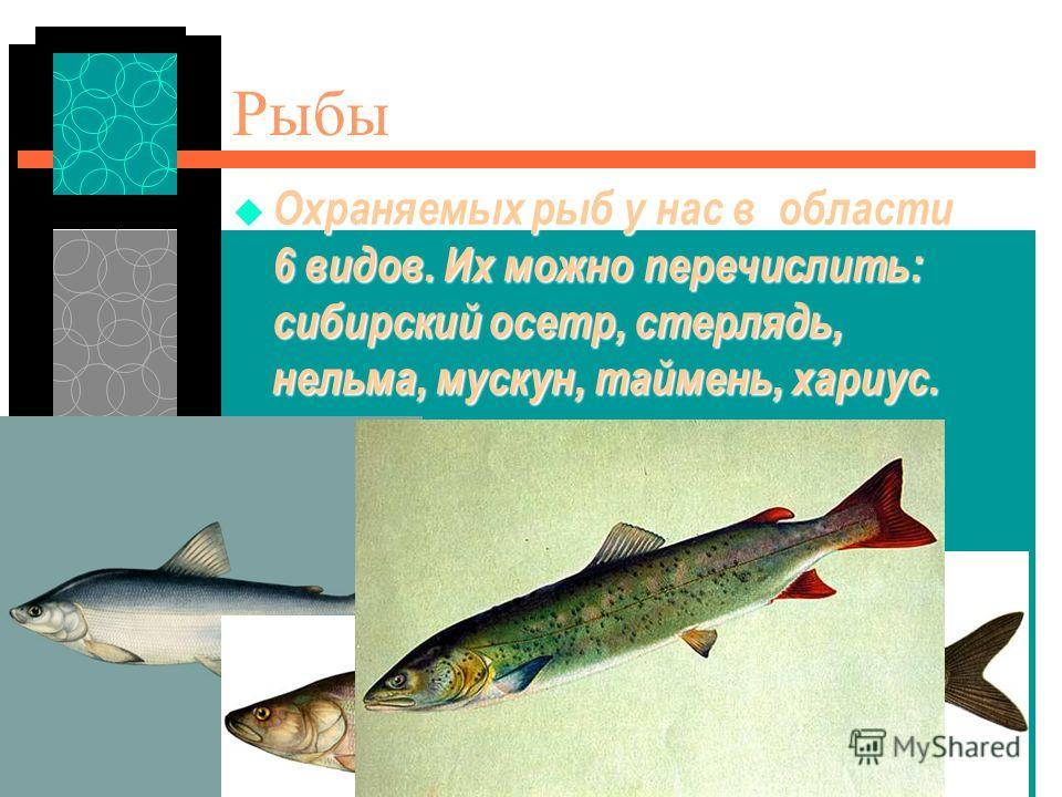 Баган БСОШ1 4А КЛАСС Рыбы Охраняемых рыб у нас в области 6 видов. Их можно перечислить: сибирский осетр, стерлядь, нельма, мускун, таймень, хариус. Охраняемых рыб у нас в области 6 видов. Их можно перечислить: сибирский осетр, стерлядь, нельма, муску