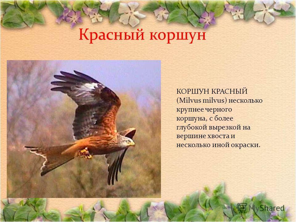 Красный коршун КОРШУН КРАСНЫЙ (Milvus milvus) несколько крупнее черного коршуна, с более глубокой вырезкой на вершине хвоста и несколько иной окраски.