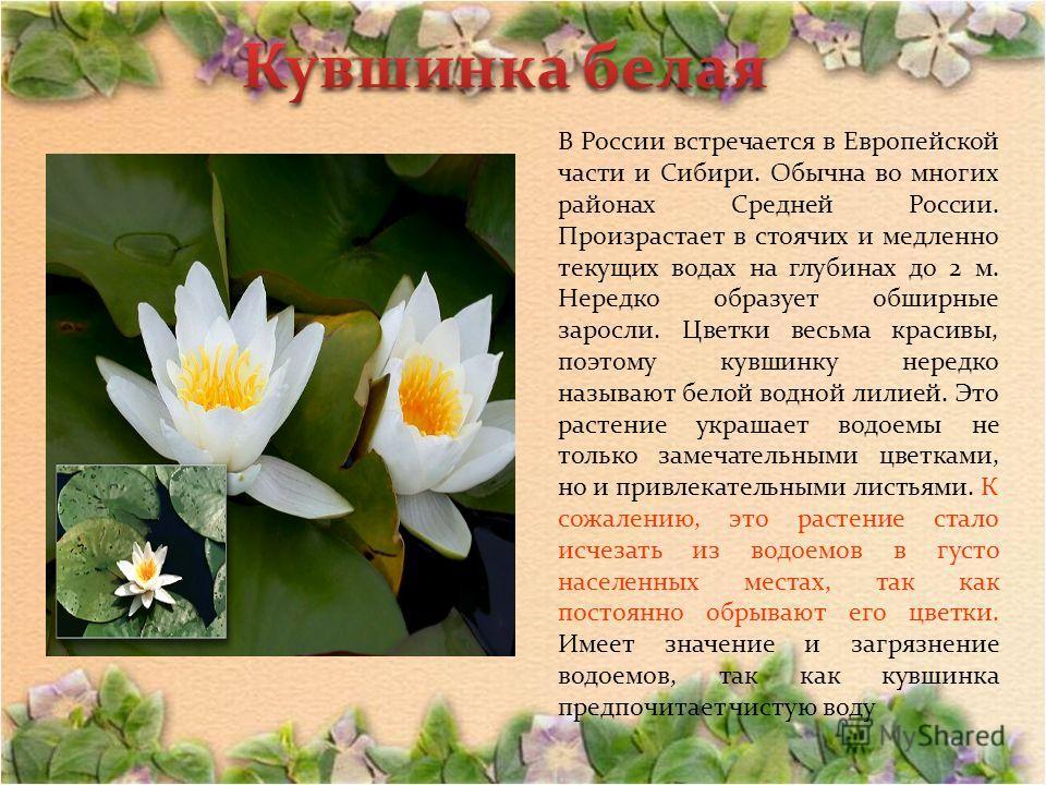 В России встречается в Европейской части и Сибири. Обычна во многих районах Средней России. Произрастает в стоячих и медленно текущих водах на глубинах до 2 м. Нередко образует обширные заросли. Цветки весьма красивы, поэтому кувшинку нередко называю