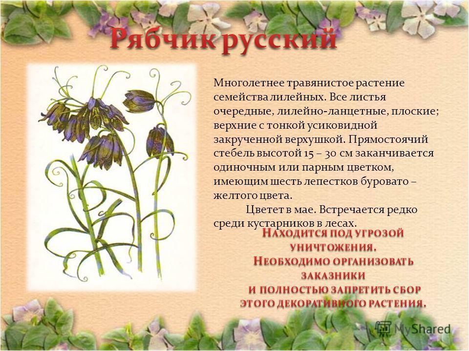 Многолетнее травянистое растение семейства лилейных. Все листья очередные, лилейно-ланцетные, плоские; верхние с тонкой усиковидной закрученной верхушкой. Прямостоячий стебель высотой 15 – 30 см заканчивается одиночным или парным цветком, имеющим шес