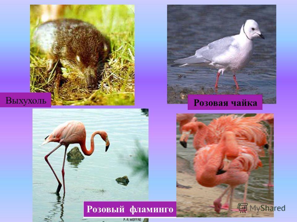 Розовая чайка Розовый фламинго Выхухоль