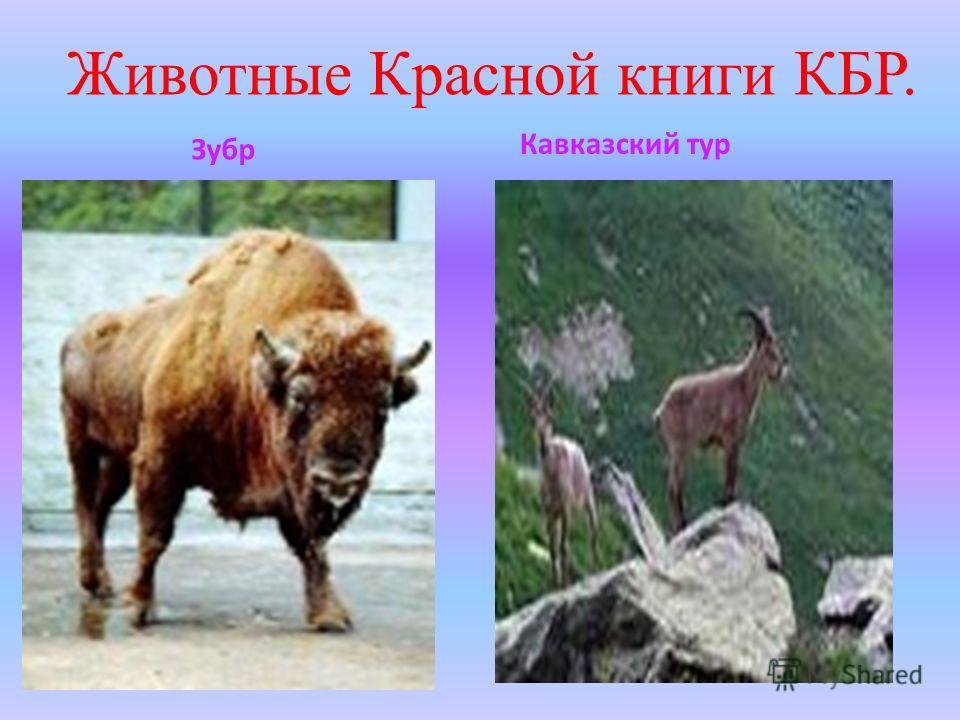 Животные Красной книги КБР. Зубр Кавказский тур