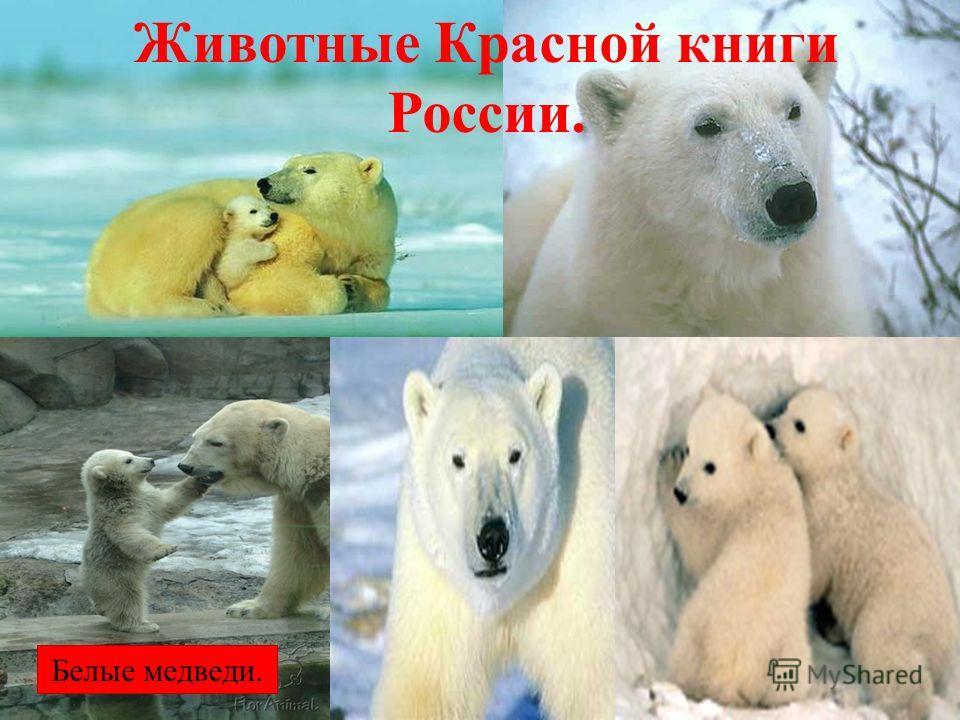 Белые медведи. Животные Красной книги России.