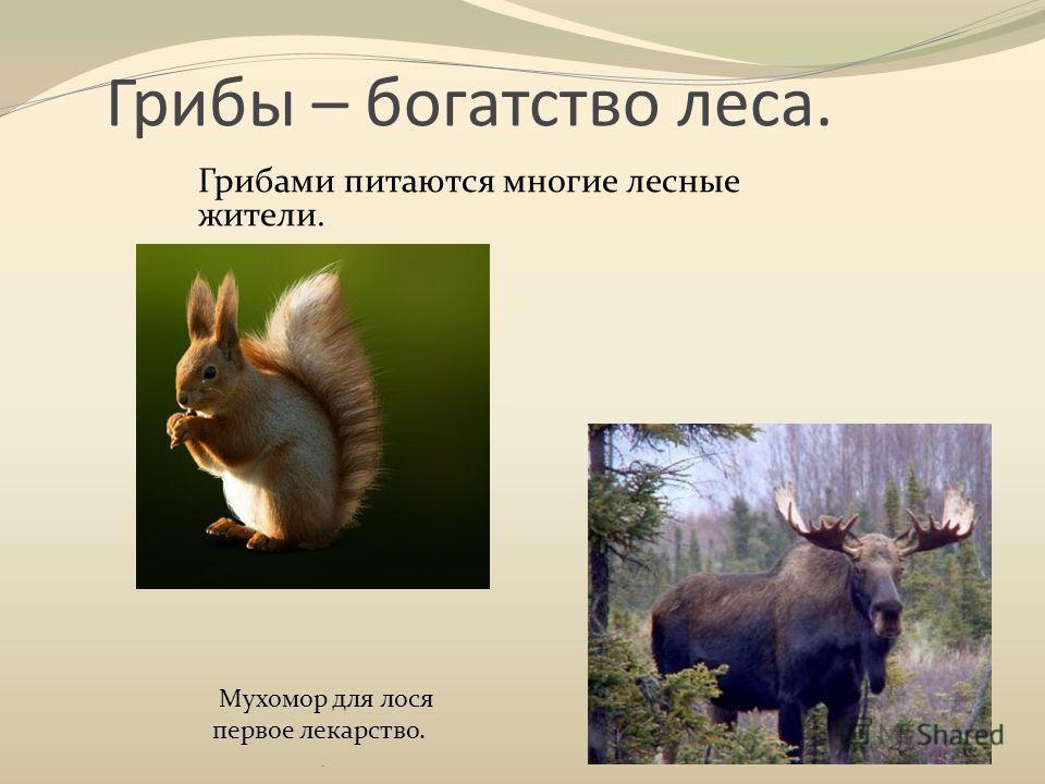 Грибы – богатство леса. Грибами питаются многие лесные жители.. Мухомор для лося первое лекарство.