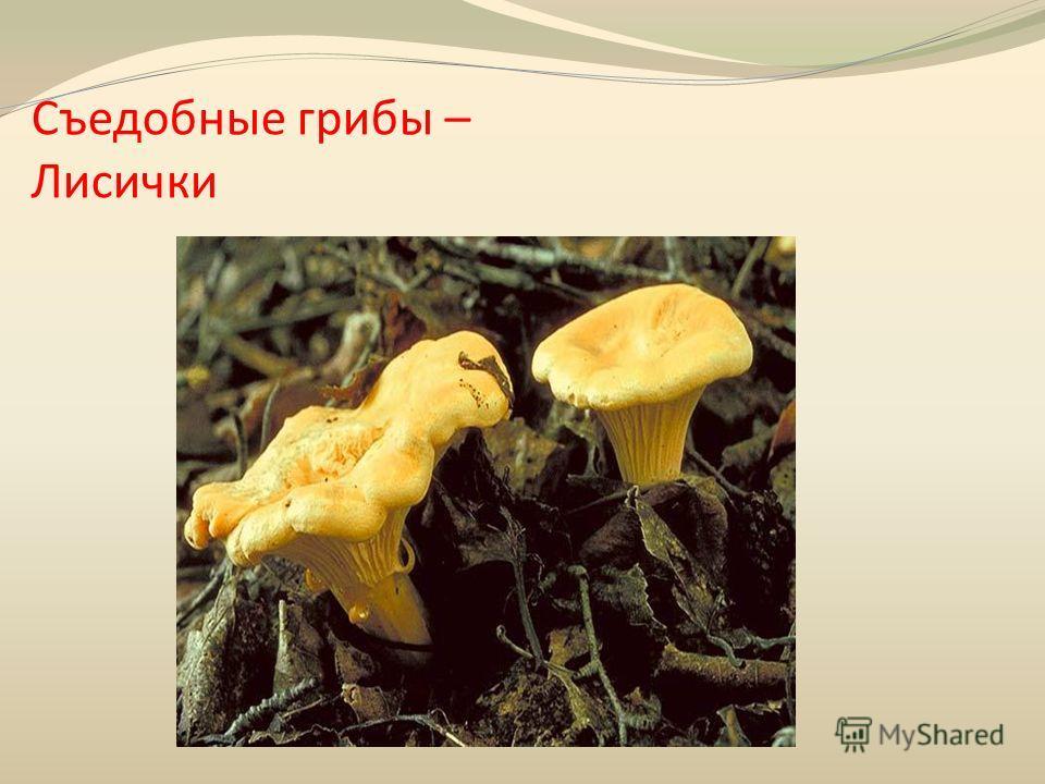 Съедобные грибы – Лисички