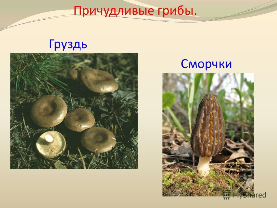 Причудливые грибы. Груздь Сморчки