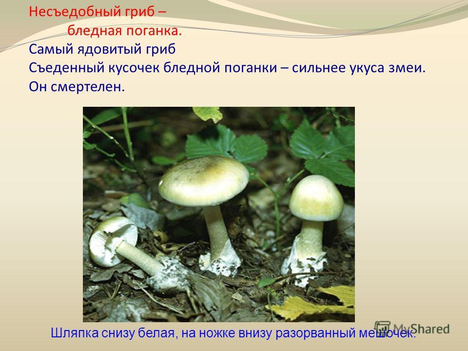Несъедобный гриб – бледная поганка. Самый ядовитый гриб Съеденный кусочек бледной поганки – сильнее укуса змеи. Он смертелен. Шляпка снизу белая, на ножке внизу разорванный мешочек.