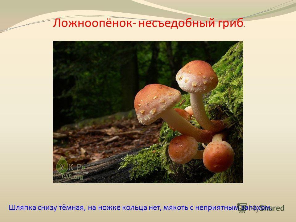 Ложноопёнок- несъедобный гриб. Шляпка снизу тёмная, на ножке кольца нет, мякоть с неприятным запахом.