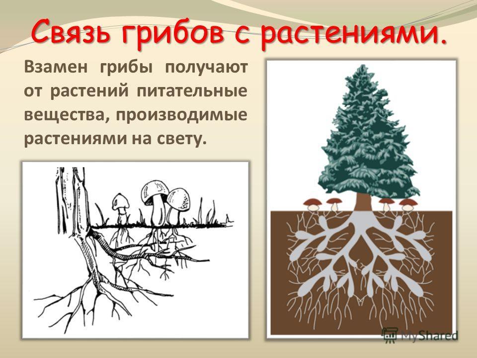 Связь грибов с растениями. Взамен грибы получают от растений питательные вещества, производимые растениями на свету.