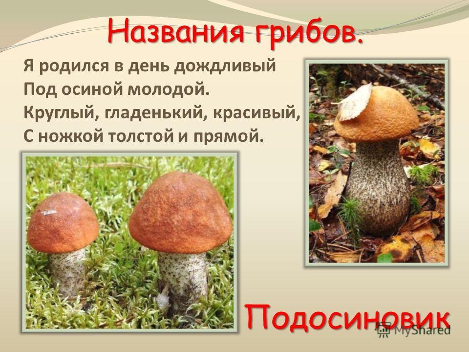 Названия грибов. Я родился в день дождливый Под осиной молодой. Круглый, гладенький, красивый, С ножкой толстой и прямой. Подосиновик