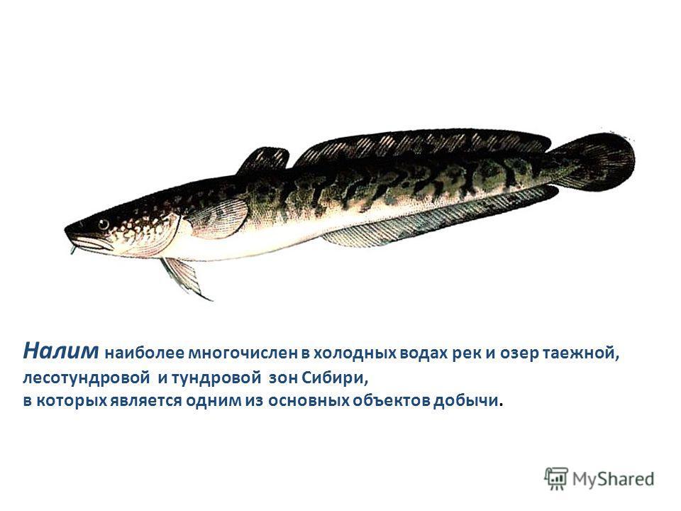 Налим наиболее многочислен в холодных водах рек и озер таежной, лесотундровой и тундровой зон Сибири, в которых является одним из основных объектов добычи.