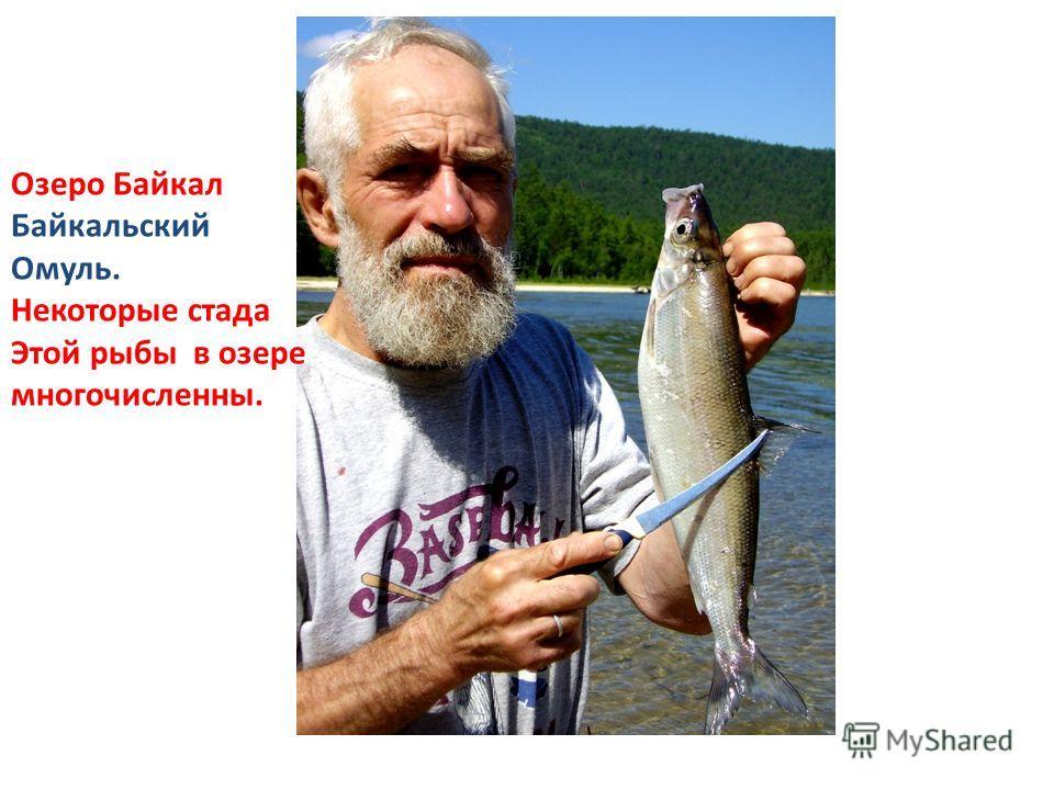 Озеро Байкал Байкальский Омуль. Некоторые стада Этой рыбы в озере многочисленны.