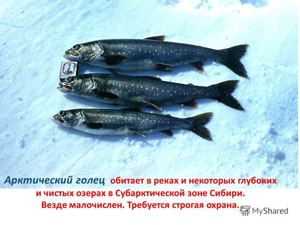 Арктический голец обитает в реках и некоторых глубоких и чистых озерах в Субарктической зоне Сибири. Везде малочислен. Требуется строгая охрана.
