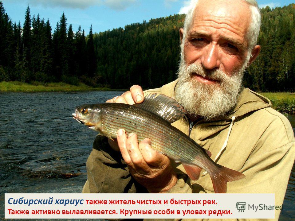 Сибирский хариус также житель чистых и быстрых рек. Также активно вылавливается. Крупные особи в уловах редки.