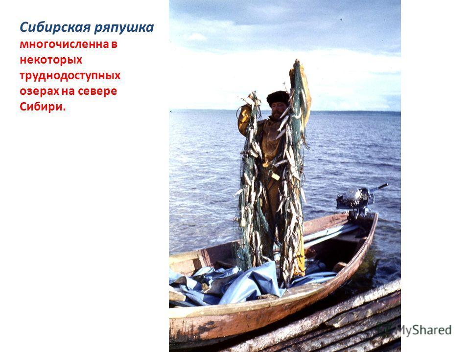 Сибирская ряпушка многочисленна в некоторых труднодоступных озерах на севере Сибири.